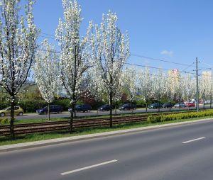 Grusze ozdobne zakwitły na ulicy Murawa