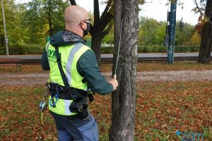 Trwa przegląd drzew przyulicznych
