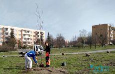 Sadzimy drzewa wzdłuż ul. Hetmańskiej