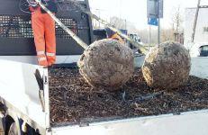 33 drzew zostały posadzone na koszt wykonawcy na wildeckich ulicach.