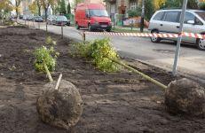Drzewa sadzone na ul. Stablewskiego w 2016 r.